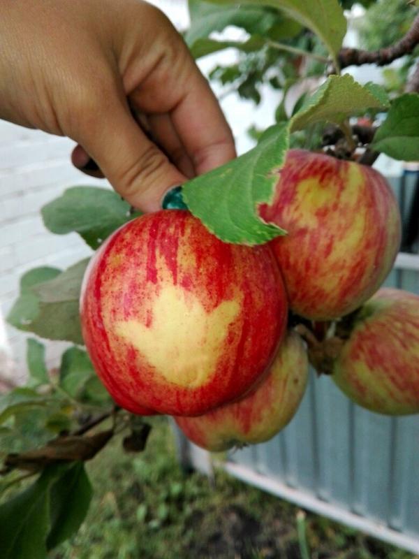 Выращивание яблок в 62